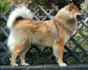 Eurasier Breed
