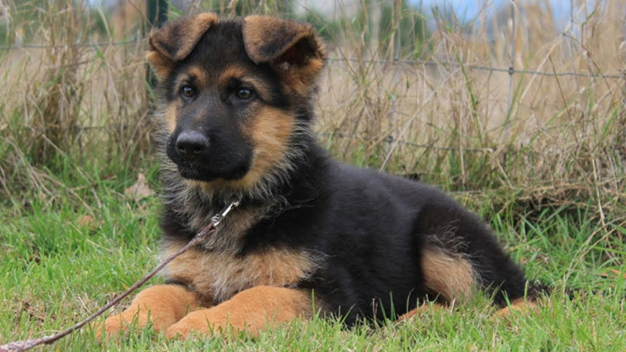 Miniature German Shepherd Breed Overview Temperament