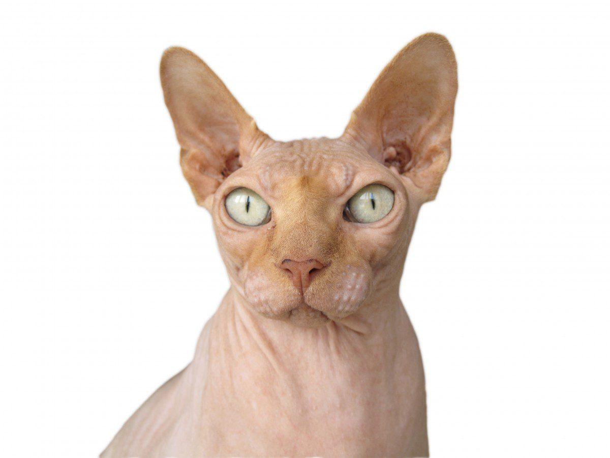 Savannah Cat Breed