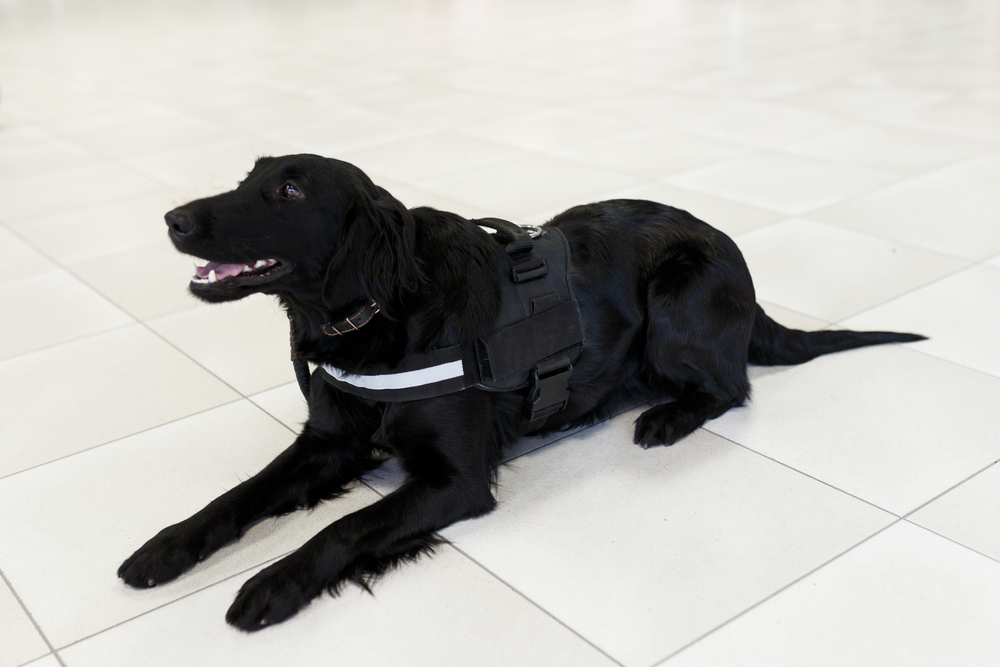 dog sitting on tile floor in service harness