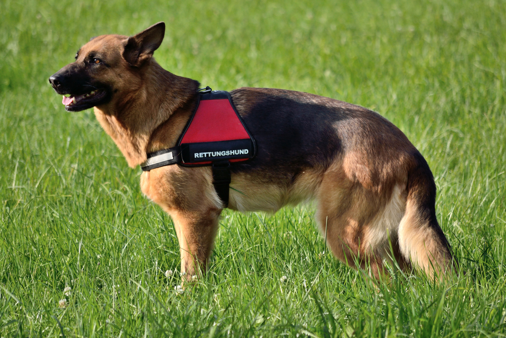 german shepherd in a service vest