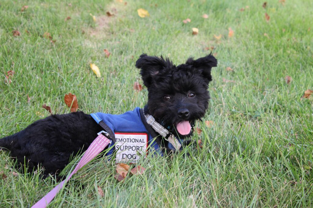 an emotional support dog wearing a harness