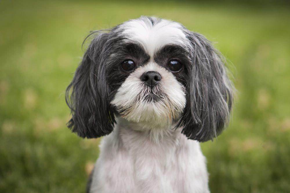 shih tzu dog profile