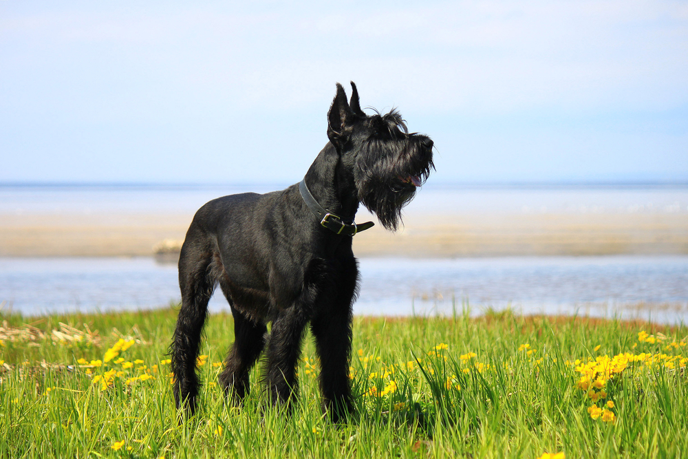 giant schnauzer standing in the grass