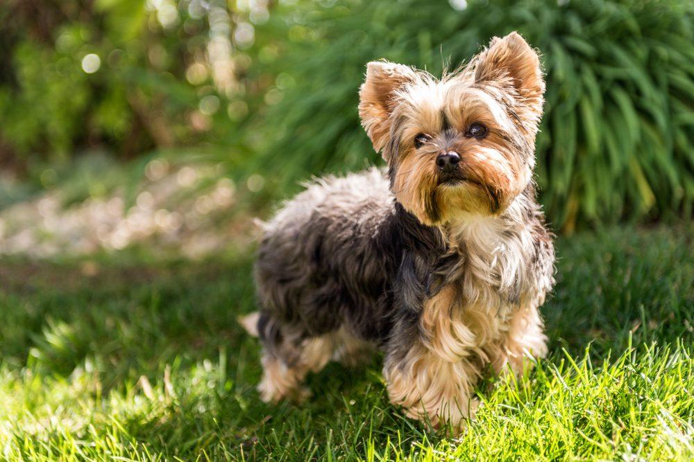 Yorkshire terrier posing in grass