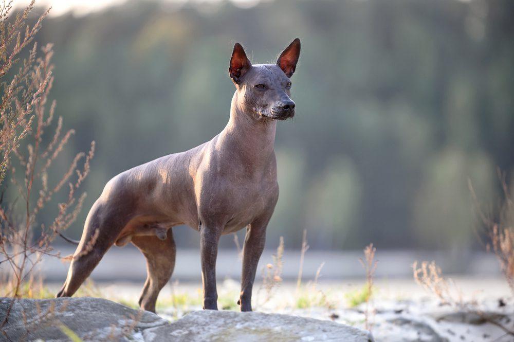 Mexican Xolo hairless dog
