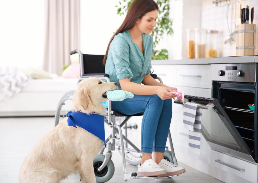 golden retriever assisting woman in wheelchair