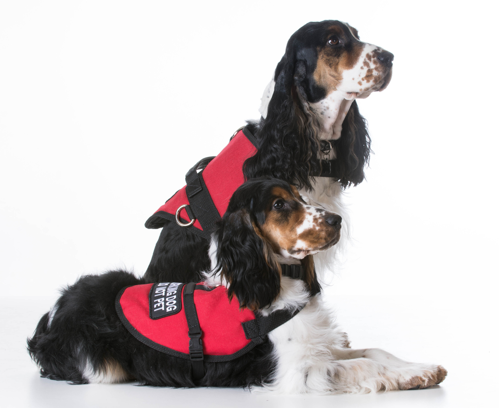 two service dogs together
