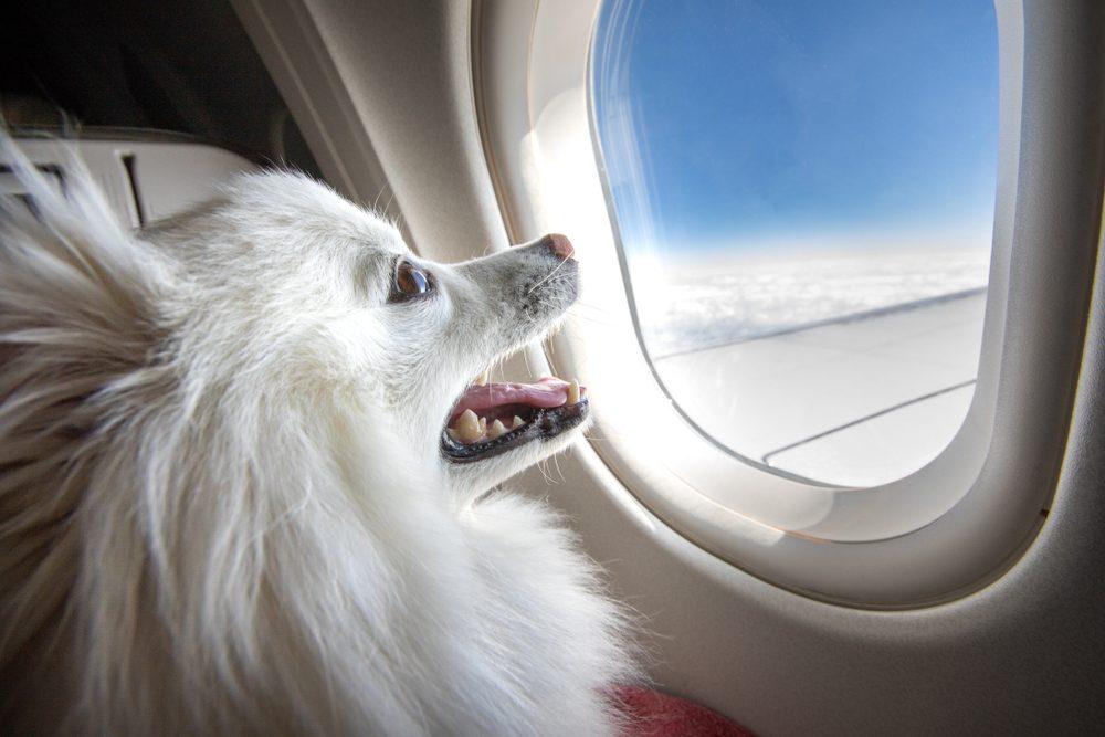 dog on airplane