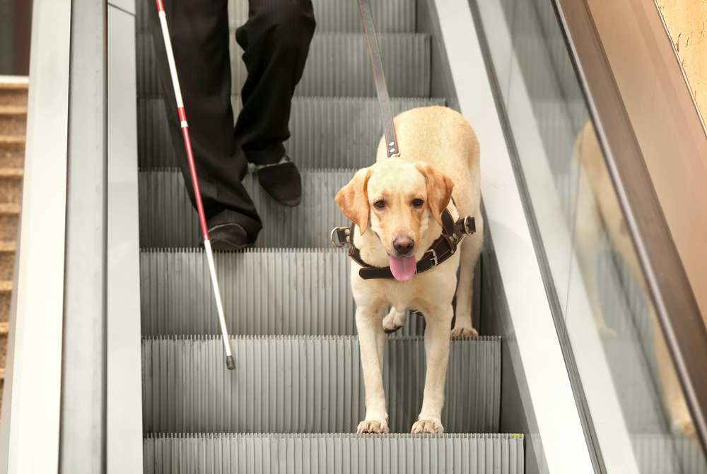 guide dog leading blind man