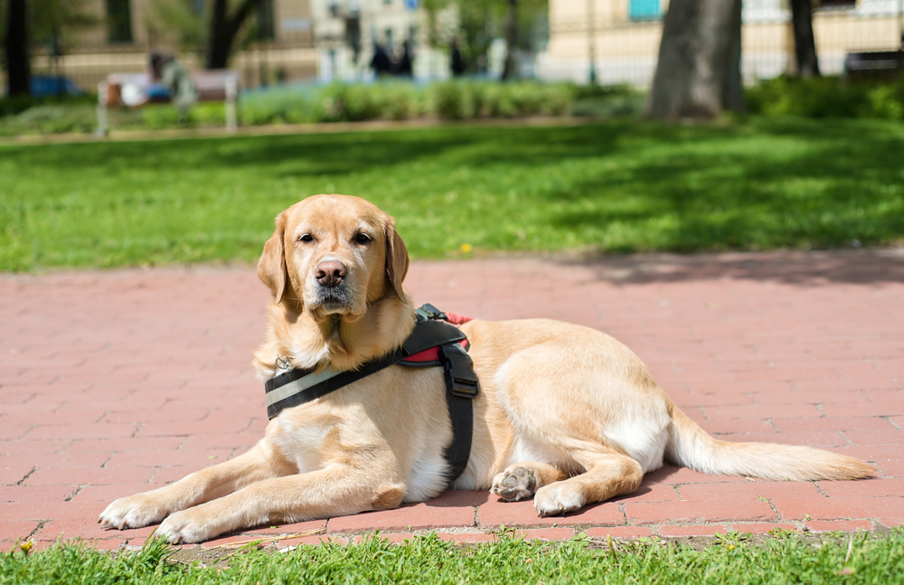 Guide dog is resting in the park