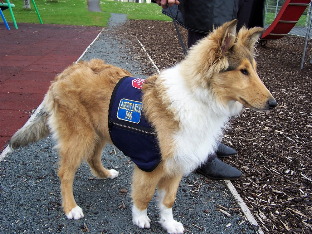 Young collie in training to become an Autism Assistance Dog