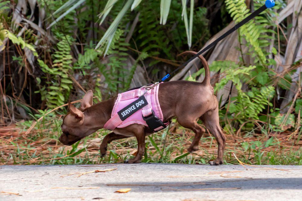 chihuahua being walked on a sidewalk