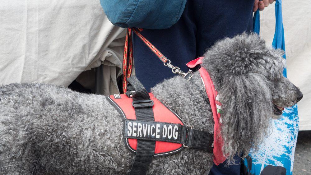 service dog poodle