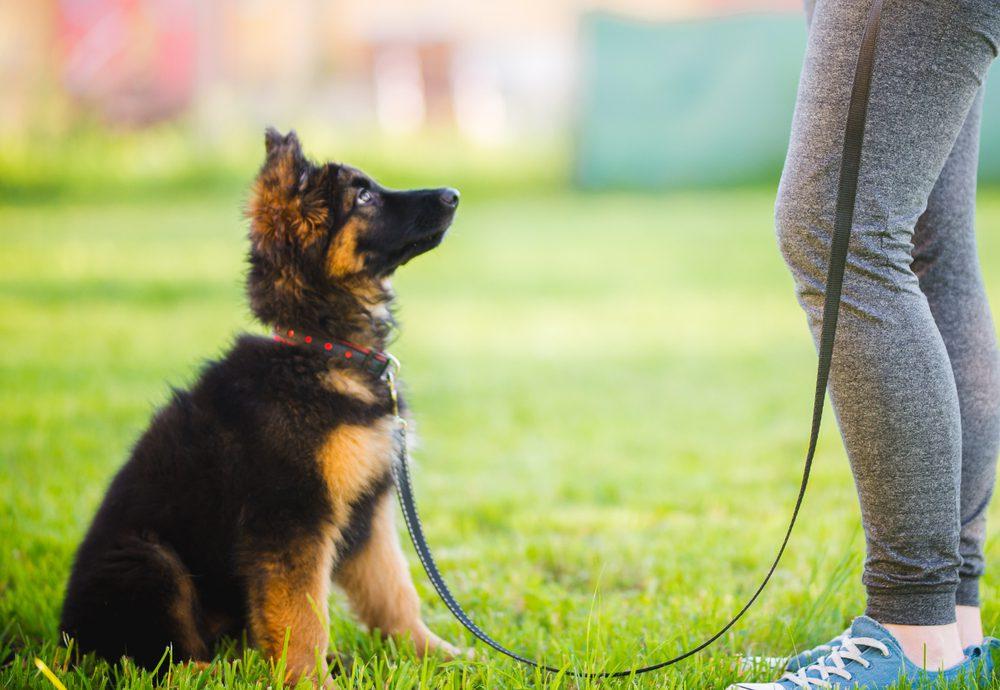 German shepherd puppy in training