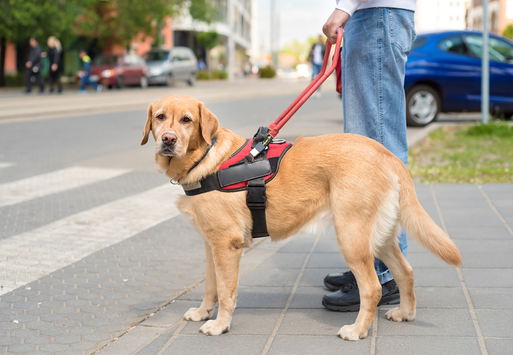 a guide dog stands at a crosswalk with its owner