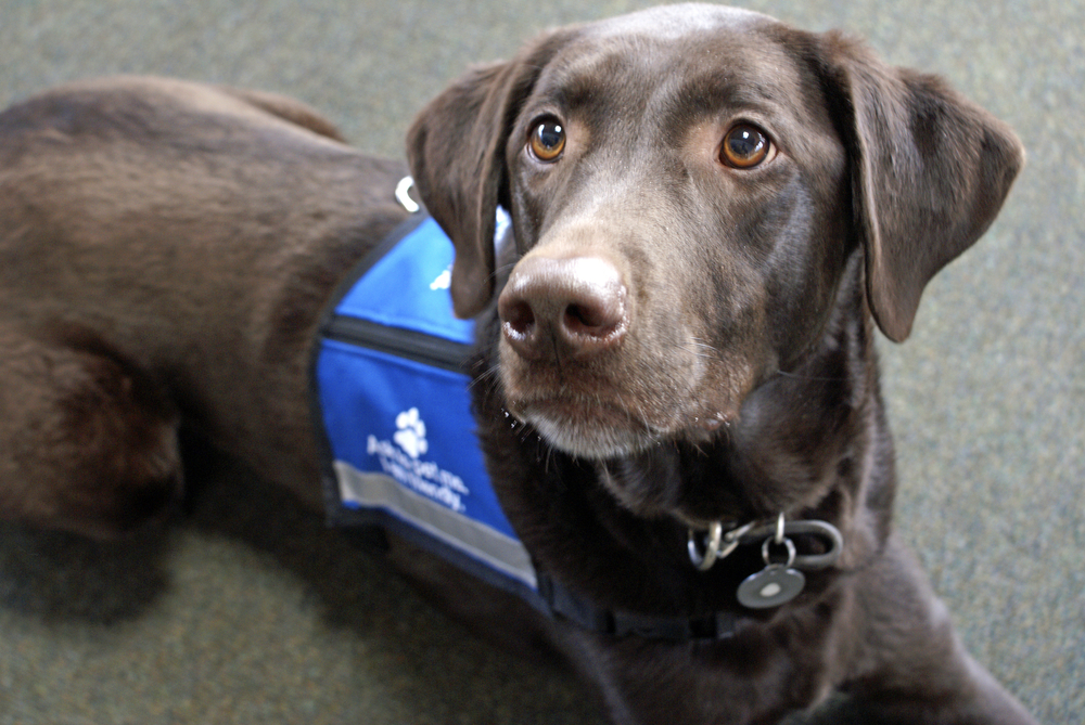 chocolate lab wearing a blue vest