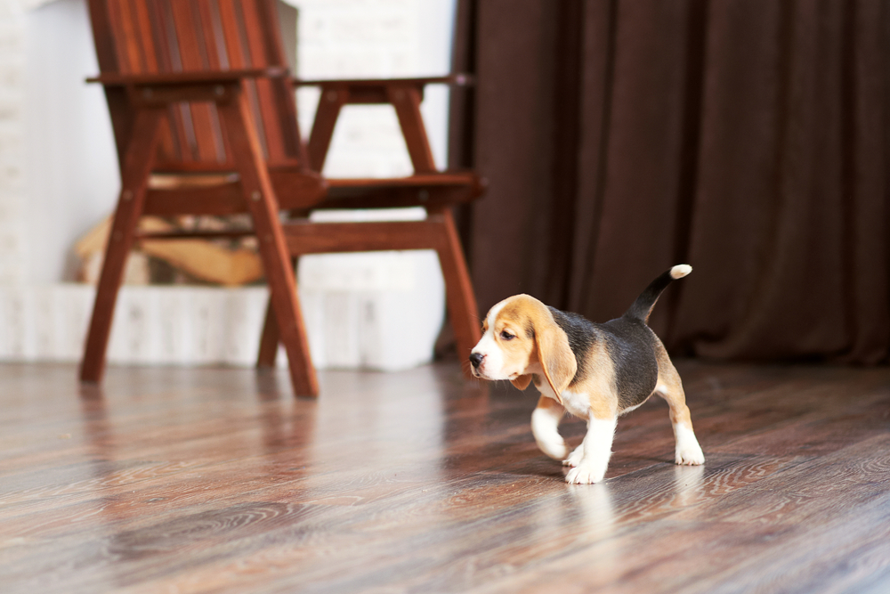 puppy walking in clean home