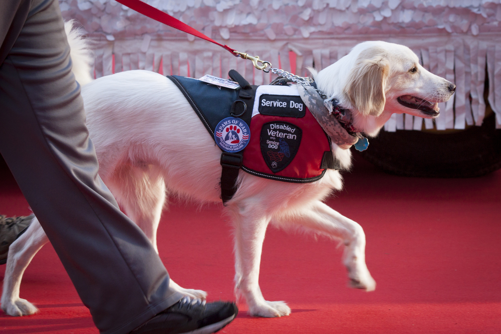 service dog in vest walks red carpet