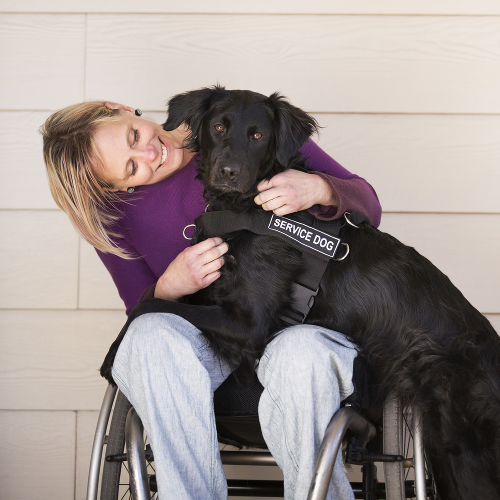 service dog lays on woman in wheelchair